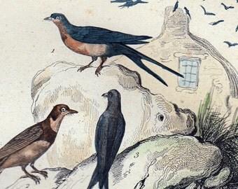 1870 rare Antique Victorian BIRD engraving By BUFFON, swallows and martins,  animal art print