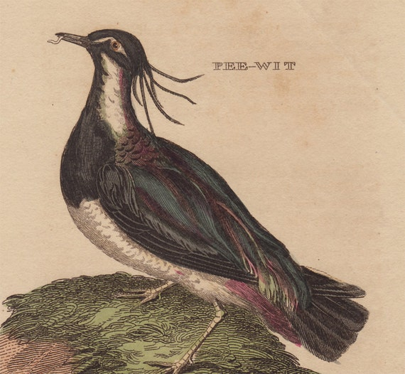 1814 Antique BIRD print, hand colored engraving, Pee-wit. 198 years old nice print