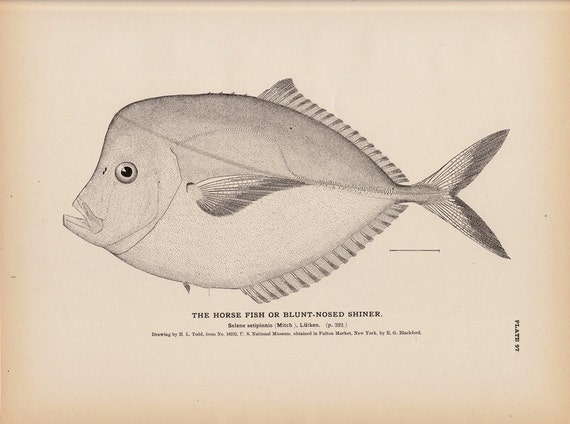 Rare 1884 Antique fish print, The Horse fish or blunt nosed shiner. Large Plate