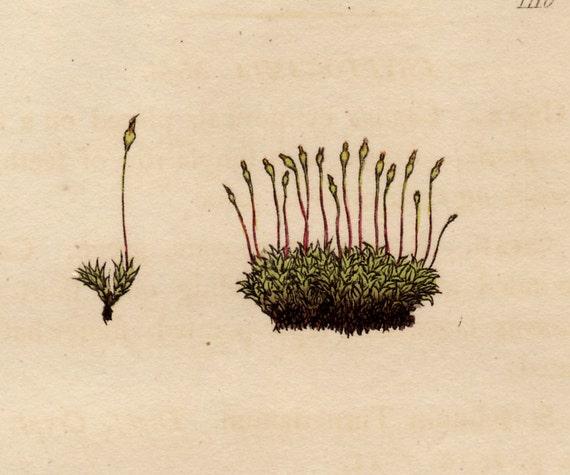 Antique 1803 Hand Colored Herb Engraving, Turnerian Splachnum (Splachum Turnerianum), Green herbs