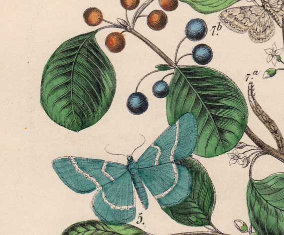 1889 Antique Butterfly print, colored, Butterflies on a plant with flowers. medium size print