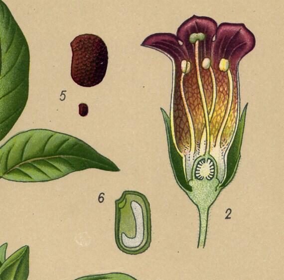 1900  Antique flower print, deadly nightshade, belladonna, bright colors