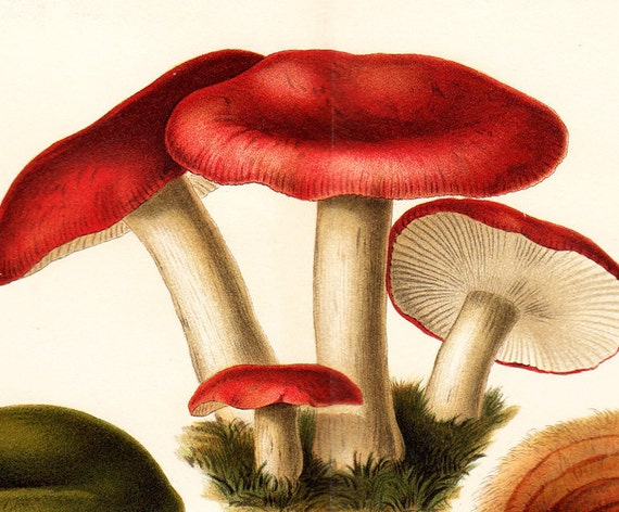1900s antique MUSHROOMS lithograph, edible mushrooms and poisonous mushrooms
