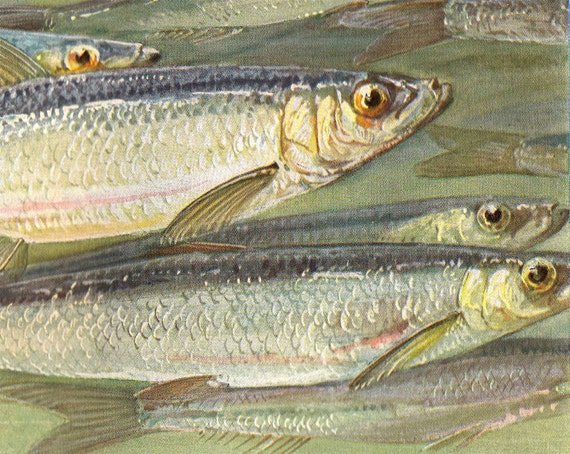 1915 Antique FISH  print, herring, tent peg, SEA LIFE art lithograph
