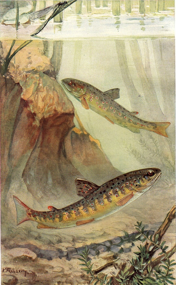 1915 Antique FISH print, Trout River, a couple of trouts, aquatic life art lithograph