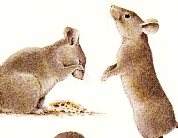 Vintage MOUSE print, funny little rodents, vole,  a sweet Zoology picture