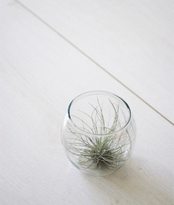 Teeny Tiny Bowl with Air Plant // Airplant in Glass Vase