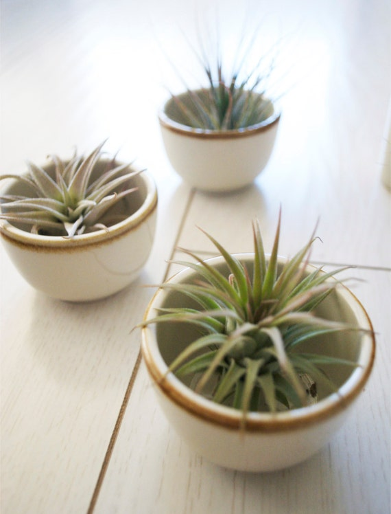 SALE // Sake Shot Plant // Small Air Plant in a Japanese Vase