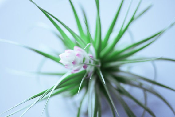 Blooming Air Plant //  Budding Large Airplant Succulent