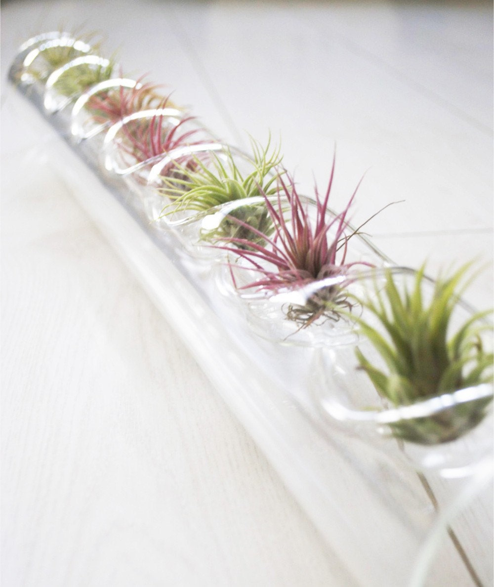 Air plant centerpiece glass blown tube and plants