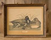 Vintage Framed Bird Print - Scaup Duck