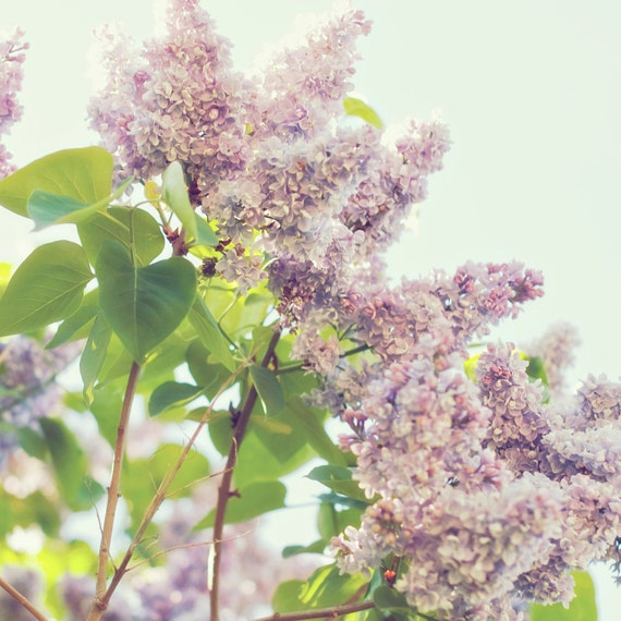 beautiful purple lilacs in spring sunlight photo