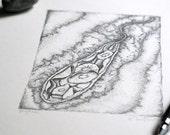 Euglena - Graphite on paper