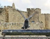 Wings, Bird Photography, Old city Jerusalem wall, pigeon, Jerusalem, Israel, dove