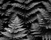 Ferns.Fine Art Photographic Print 18x12