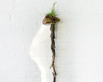 10% SALE - LARGE Driftwood Cane Air Plant Wall Hanger - Unique Planter Gift - Weathered Wood OOAK