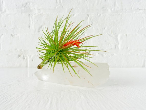 Air Plant Crystal Garden- Quartz Lemurian Seed Point w/ LIVE Plant