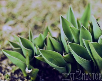 Spring Pushes Through 5x7 Inch Photographic Print