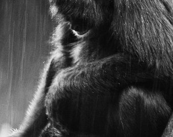 Colombian Spider Monkey In The Rain 5x7 Inch Photographic Print
