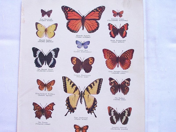 Vintage Book Plate Print Butterflies North  American Monarch Swallowtail Color  Illustration Book Plate  Page 1940s 40s