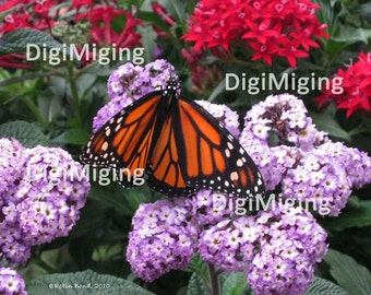 Fine Art Butterfly Photo, Monarch and Flowers, Orange and Black Butterfly on Red and Purple Flowers, Insect Photo Print, Nature Photograpy