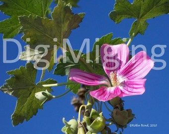 Pink Flower on Blue Sky, Botanical Nature Photography, 5x7, Wall Art Home Decor Photo Print