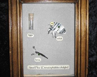 Rare & Limited Mounted Specimen Steel Flea  (Ctenocephalides chalybs)