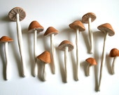 Edible Wild Sugar Mushrooms of the genus Psilocybe Cubensis 40 -As Seen in Urban Outfitters-