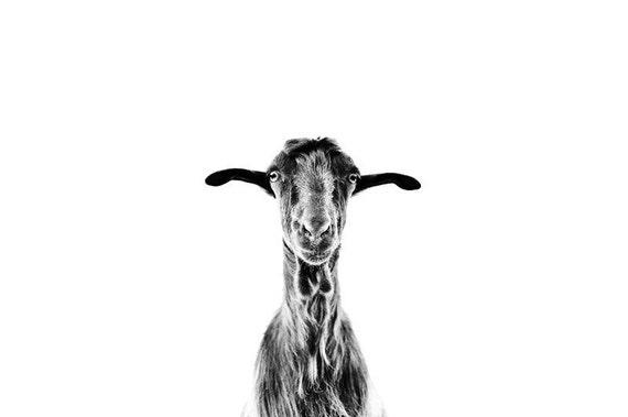 Goat 8x12 photo print