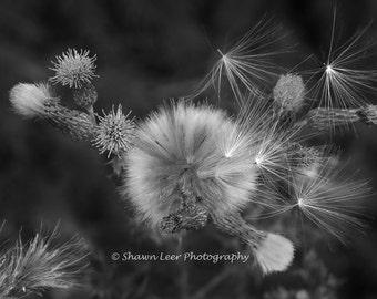 Black and White Milkweed Photograph.