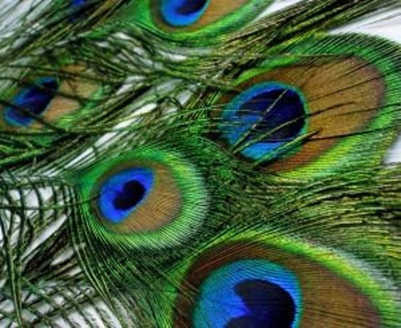50 PEACOCK FEATHERS with Full Eye  Marking - USA Wholesale Lot  shipped securely hair clip pin pad wedding