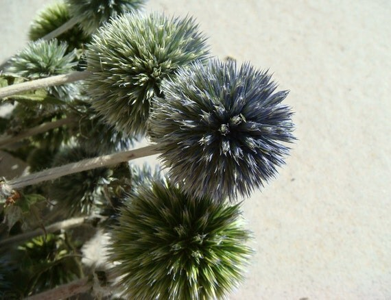 Dried Thistle Echinops Green and Purple flowers / bouquet boutonniere wedding dried flower stem Thistle
