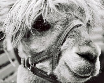Cute Animal Photograph - Llama Alpaca Print - Black and White - 5x7 Photograph - Animal Lover - Nature