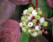 Dogwood Berries - Nature, fall scenes, autumn, garden art , plum, lime green & white berries 5X7