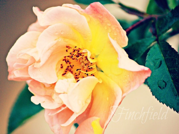Harmony - coral and yellow, peach & pink rose, summertime, garden, wall decor, fine art, rosa, country, cottage chic - 8X10 print