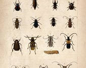 11x17 Vintage Science Plate Poster. Insects. - 088