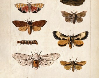 Vintage Science Plate Reproduction Print. Insects. Butterflies and Moths Scientific Eduacational Chart Diagram - CP212