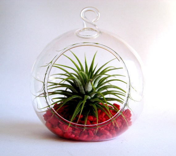 Spike the airplant hanging bubble terrarium