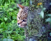 African Sand Cat - Felis Margarita - Blank Notecards - OR - You Choose the Occasion and the Inscription - Customized Notecards
