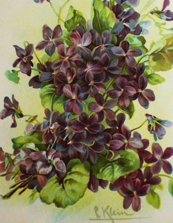 A bunch of wild Spring violets, C. Klein