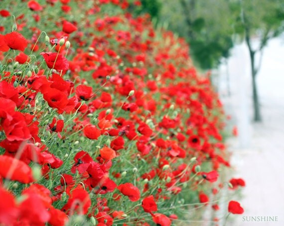 Download photo Red poppy field Fine art photography digital download - red poppies green scarlet