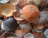 Over 150 Scallop Seashells, A beautiful collection. Great for wedding decor or crafts.