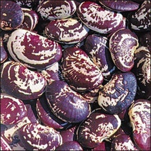 20 Christmas Lima Bean Seeds Non GMO, Open Pollenated, Heirloom Vegetable Seed
