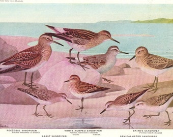 SANDPIPERS - 1936 Bird Print Book Plate -  Birds of America Plate 35-36