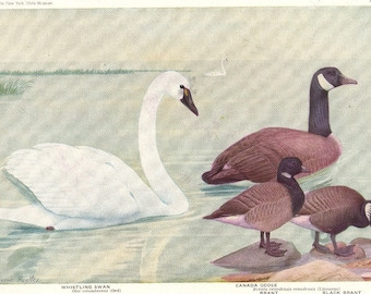 SWAN - GEESE - 1936 Bird Print Book Plate - Birds of America Book Plate 21-22