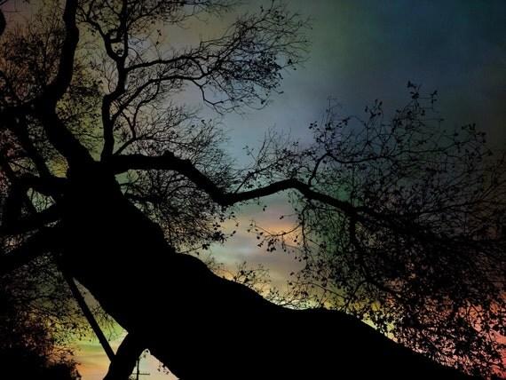 California Oak Tree Giclee Photo Art Print