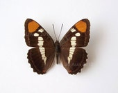 Real Butterfly Specimen Unmounted Ready Spread, California Sister - ButterfliesByAun