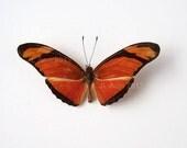 Real Butterfly Specimen, Unmounted, Ready Spread, Julia Longwing