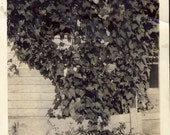 "Children Very Well HIDDEN in IVY in a ""Where's Waldo"" Type of Fun Photo Circa 1930"