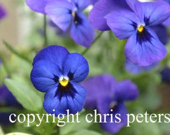 Photo Note card, flower, pansy, free shipping, chris peters, mementos of the journey